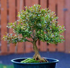 Boxwood bonsai Quite cute