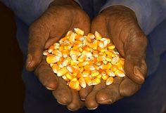 Un proyecto de la cátedra de Genética de la Facultad de Agronomía de la UBA tiene como objetivo recuperar formas tradicionales de producir maíz y mejorar las semillas a partir de la interacción con pequeños productores, a los que se busca devolverles