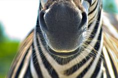 Submitted byanimalgazing:Zebra whiskers by allspice1 on Flickr.  You have to follow this blog, it's really awesome!