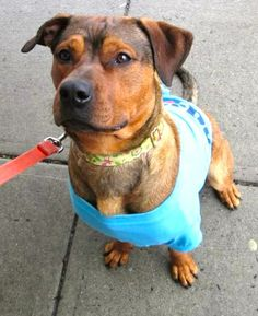 """Adopted! Woof! Hi there! My name is Jack, and I am a young Rottie / German Shepherd Dog mix. Did you see my photo? I'm super handsome, huh? Hehehe. My human friends have used words like """"gorgeous"""" and """"adorable"""" to describe me. Aw, shucks. Thanks, guys!..."""