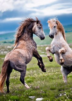 Two gorgeous horses rearing in a fight off, or perhaps play. Gorgeous blue sky and pretty tossed manes.