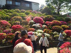Nezu Shrine's Azalea Festival, Tokyo, Japan http://www.cheapojapan.com/spring-flowers-at-nezu-shrines-azalea-festival/ #japan #flowers #Azalea
