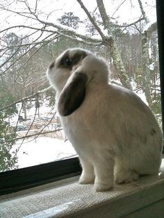 lapin belier bouge de neige