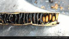 阿勃勒 Caesalpiniaceae ⚫ 果莢內有許多黑色隔板隔開,一室一種子,隔板上有軟軟粘粘狀的黑色物質像瀝青,味道並不好聞。 ⚫ 取出後泡水一天,除去表面薄膜。繼續泡水 2-5 天,種子會膨脹約 1.5 倍,並露出芽點。 ⚫ 芽點尖端朝下排列整齊,間距約一顆種子。 ⬛ 蘇木科 Cassia 決明屬,別名:波斯皂莢、豬腸豆、臘腸樹 、阿勒勃、牛角樹。 Cuff Bracelets, Green, Jewelry, Jewlery, Jewerly, Schmuck, Jewels, Jewelery, Fine Jewelry