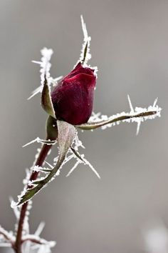 ❥ winter rose: The Snow Witch cannot put her curse on everything. The rose gives hope to a promised prophesy. Beautiful Roses, Pretty Flowers, Simply Beautiful, Winter Rose, Dark Winter, Winter Beauty, Winter Wonder, Winter Garden, Winter Plants