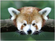 Red Panda Baby Cute Wallpaper   red panda baby cute wallpaper 1080p, red panda baby cute wallpaper desktop, red panda baby cute wallpaper hd, red panda baby cute wallpaper iphone