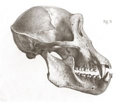 Skull of a bonobo