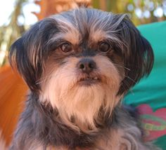 Kona's favorite activities include cuddling and playing with squeaky toys.  He is an adorable Shih-Tzu mix, 5 years of age and neutered, debuting for adoption today at Nevada SPCA (www.nevadaspca.org).  Kona is a housetrained and compatible with cats, dogs, and mature kids.  He needed us due to his previous owner's financial hardship.