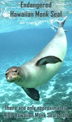 The National Oceanic and Atmospheric Administration National Marine Fisheries Service on Tuesday released a draft management plan for the endangered species, of which approximately 200 live in the main Hawaiian Islands. There are approximately 1,100 Hawaiian monk seals total...