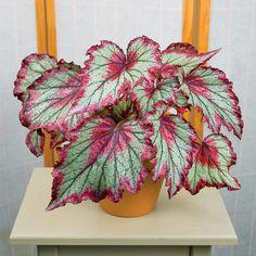 Begonia 'Ring of Fire' (Begonia rex hybrid) - Rex Begonias - Begonias