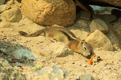Golden-mantled ground squirrel, Rocky Mountain National Park, Colorado, September 1, 2009 (pinned by haw-creek.com)