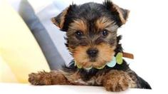 Oh my goodness...this little Yorkie looks just like my Precious ♥