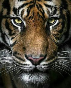 Dark and beautiful tiger