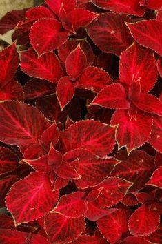 Coleus 'Red Velvet'