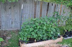 How to grow blackberries on The Gardening Tips at http://thegardening-tips.com/growing-blackberries/
