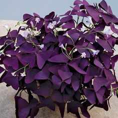 Purple Shamrock Plant (Oxalis regnellii 'Francis') - Indoor and Windowsill House Plants - Indoor Plants Beautiful Flowers, Purple Plants, Shamrock Plant, Summer Flowers Garden, Perennials, House Plants Indoor, Bonsai Plants, Planting Succulents, Shade Plants