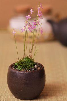 クリオネゴケ Utricularia warburgii carnivorous plant; Terrestrial bladderwort