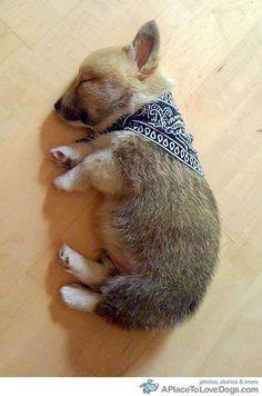Corgie puppy sleeping!!!!!!! Awwww!