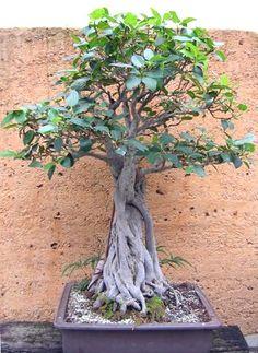 Moreton Bay Fig / Ficus macrophylla - Bonsai