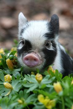 micro pig | Micro Pig / Coolspotters