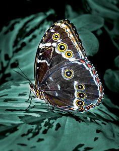 ✮ Butterfly