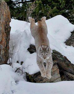 Funny Wildlife, funnywildlife: Lynx Leap!!