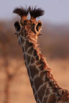 """""""Hair"""".  Giraffe details.  Photographer Josey via Outdoor Photographer"""