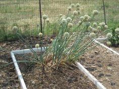 Plante companion pentru gradina de legume