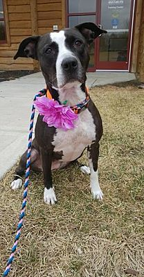 Pictures of Tori a Pit Bull Terrier for adoption in Independence, MO who needs a loving home.