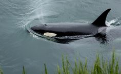 Yogurt Cups, Food Wrappers and a Shoe Found in Stomach of Dead Orca  Read more: http://www.care2.com/causes/yogurt-cups-food-wrappers-and-a-shoe-found-in-stomach-of-dead-orca.html#ixzz43F8Btynq