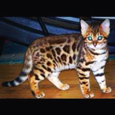 Bengal cat; the type of cat I'm getting when I grow up <3
