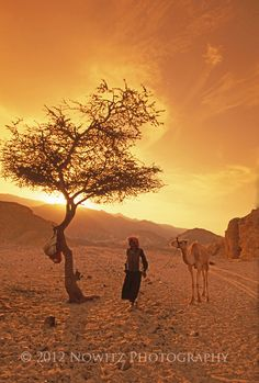 Acacia trees common to Africa grow in Sinai, providing shade to local bedouin.
