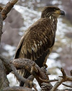 The Golden Eagle (Aquila chrysaetos) is one of the best-known birds of prey in the Northern Hemisphere. It is the most widely distributed species of eagle. Like all eagles, it belongs to the family Accipitridae Photo: E=mcSCOW, via Flickr Eagles Live, Where Eagles Dare, Beautiful Birds, Animals Beautiful, Yakima River, Largest Bird Of Prey, Usa Living, State Birds, Golden Eagle