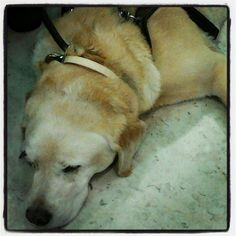 Perro-guía descansando