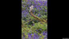 Barn owl amongst the bluebells. Blickling Estate Woods, Aylsham, by Philip Carpenter.