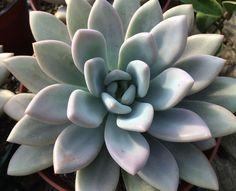 Suculentas - Graptoveria 'Opalina'
