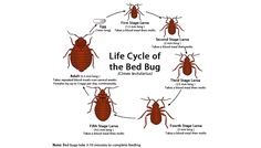Natural Bed Bug Pest Control is the preferred way to get rid of these pests because it can be very dangerous to put hazardous pesticides on your bed. These pests are found all over the world and humans just happen to be their favorite food. One of the worst things about these pests is that they can grow from a mild problem to an infestation very quickly because they are able to lay 200 eggs at a time.