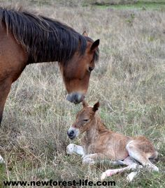 My New Forest foal after being safely born Would you like to follow the birth of a New Forest pony? Start to finish? http://bit.ly/1ium2WG I bought the foal!