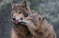 Something every wolf advocate needs on occasion. Enjoy: For The Love Of Wolves ❤ Wolf Images, Wolf Pictures, Snow Wolf, Birds In The Sky, Wolf Quotes, Wolf Love, Beautiful Wolves, Creature Comforts, Life Is Like