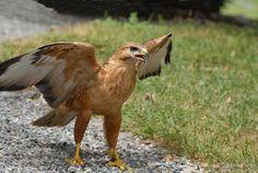 Long-legged Buzzard - Buteo rufinus