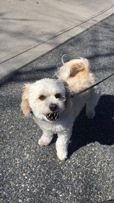 This dog with a pine cone in his mouth makes him look like a little demon #aww #cute #cutecats #dinkydogs #animalsofpinterest #cuddle #fluffy #animals #pets #bestfriend #boopthesnoot