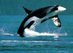 An orca breaches in the Puget Sound, Washington