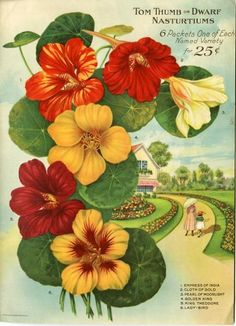 Nasturtiums in warm shades of red and yellow blossomed inside the back cover of the 1921 Farmer Seed & Nursery catalog.  Farmer Seed & Nursery originated in Faribault, MN in 1888; Andersen Horticultural Library hosts a collection of their vintage catalogs.
