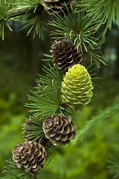 New Wedding Forest Green Pine Cones 47 Ideas Walk In The Woods, Seed Pods, Nature Pictures, Pine Cones, Amazing Nature, Belle Photo, Shades Of Green, Greenery, Beautiful Flowers