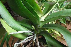 Pěstujete orchideje? Tyhle praktické fígle od zkušeného zahrádkáře určitě oceníte! - Potted Plants, Garden Plants, Indoor Plants, House Plants, Veg Patch, Plant Information, Ikebana, Plant Leaves, Home And Garden