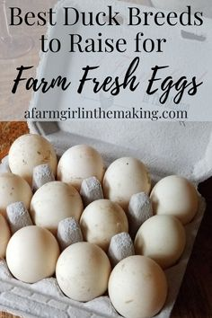 Ever wonder what the best duck breeds are for excellent eggs, or which are the best breeds for eggs for profit. Here are 13 breeds that can help you get stated on raising ducks on your homestead of your family and for sales. Backyard Ducks, Backyard Farming, Chickens Backyard, Farming Life, Urban Farming, Raising Ducks, Raising Chickens, Welsh Harlequin Duck, Duck Pens