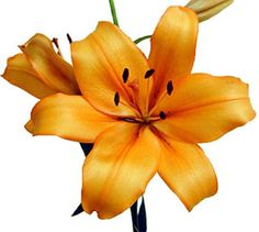 Discovery royal lily