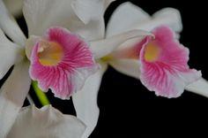 Laelia purpurata carnea - Flickr - Photo Sharing!