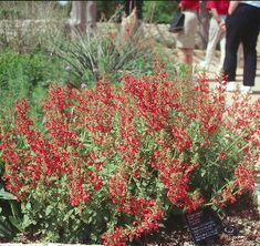 Native Plant Society of Texas » Blog Archive Texas betony is Texas-tough -