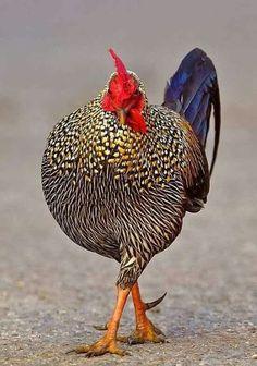 Fancy Chickens, Keeping Chickens, Chickens Backyard, Beautiful Chickens, Beautiful Birds, Animals Beautiful, Bantam Chickens, Chickens And Roosters, Farm Animals